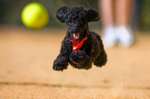 poodle-con-pelota-tennis